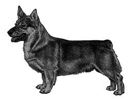Swedish Vallhund Australia